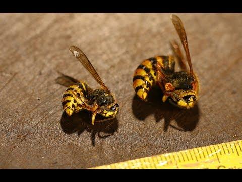 Wespen essen - Eine uralte, vergessene Delikatesse