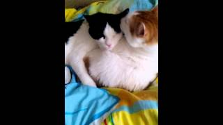 Мои котики Кузя чёрно-белый а Пушок бело-рыжий :33