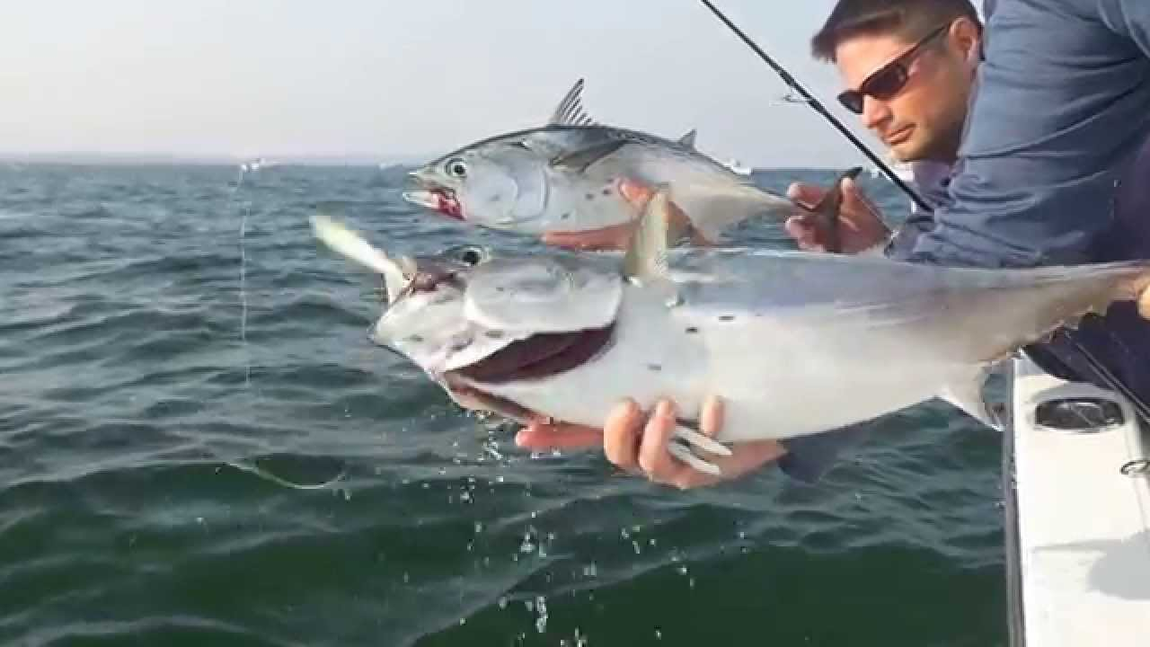 September Albie Fishing in Woods Hole - Salty Cape