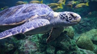 ♥♥ Relaxing 3 Hour Video of Giant Sea Turtles!(Project this onto your TV using Google Chromecast which is the newest way to enjoy online video and music on your TV. Plug it into any HDTV and control it with ..., 2013-04-06T14:28:20.000Z)