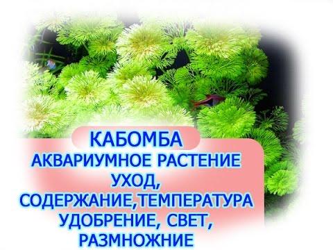 Аквариумные растения КАБОМБА, КАК ВЫРАЩИВАТЬ АКВАРИУМНЫЕ РАСТЕНИЯ, содержание, уход ,удобрениях