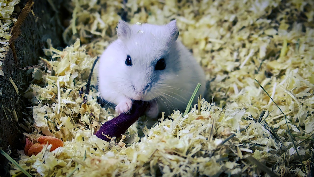 Cute Little Hamster eating #cute #hamster #pet