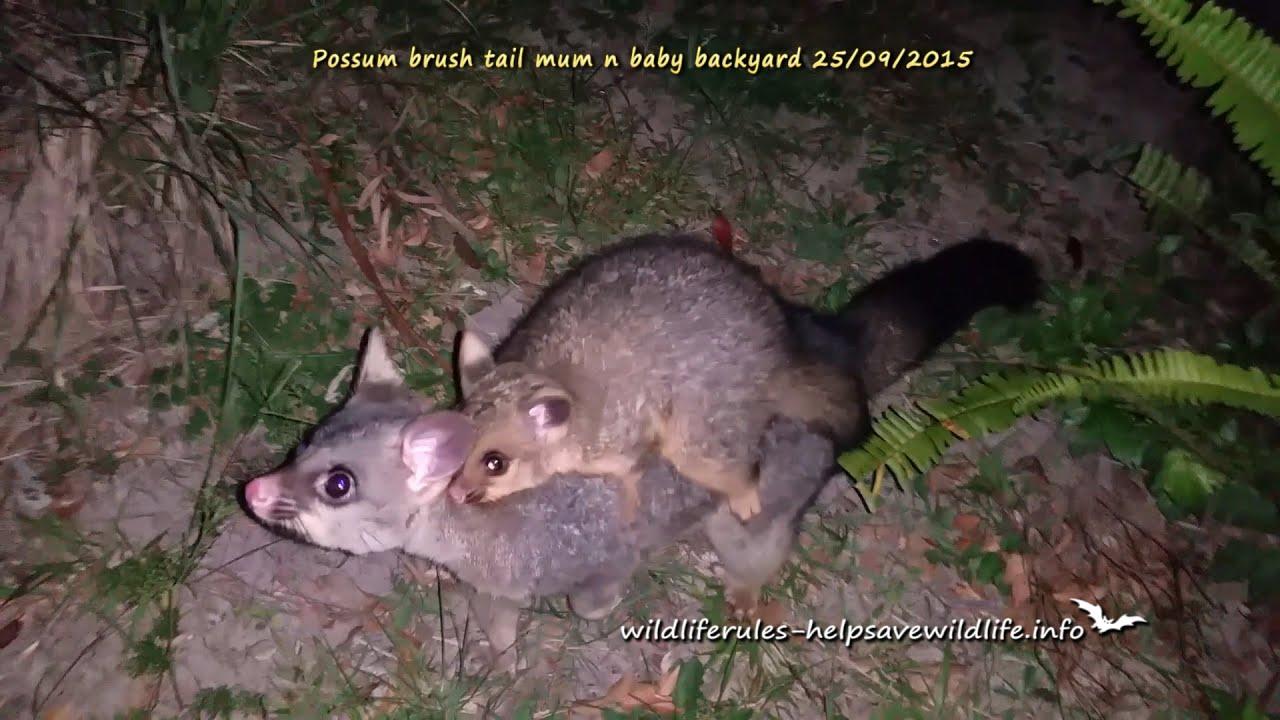 Possum Brushtail Mum And Baby 25/09/2015