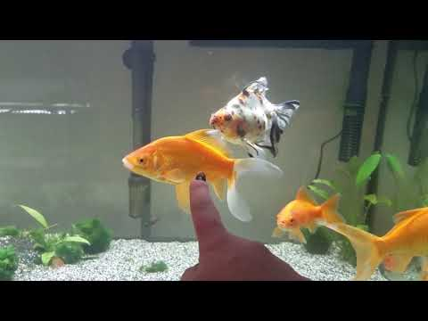 Goldie Chat: The Most Common Petstore Goldfish & Will Goldfish Grow To
