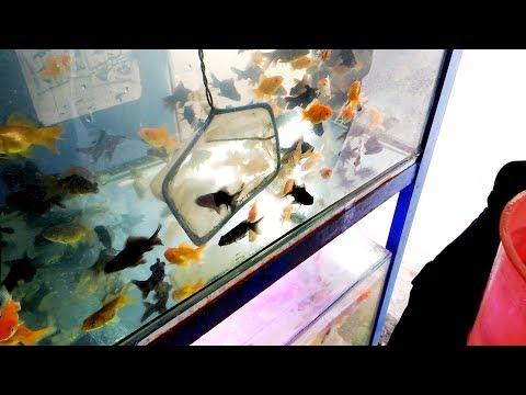 Azufi Hunting Ikan Koki Di Pasar Ikan Hias Tasikmalaya