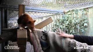 Adelaide Zoo Orphaned Tree Kangaroo Saved in World First