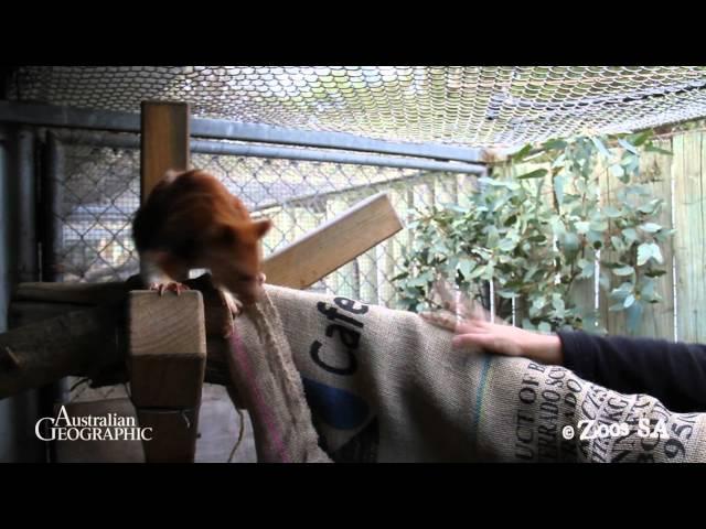 Un bébé kangourou sauvé par une maman wallaby adoptive - Sciences et Avenir c5c104d240f