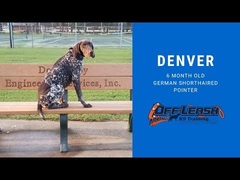 6-month-old German Shorthaired Pointer (DENVER) | Best Arkansas Dog Training