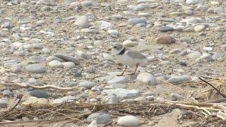 Overflowing Great Lakes threaten bird species
