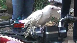 """White"" crow in Kerala"