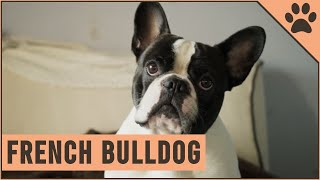 French Bulldog  Dog Breed Information