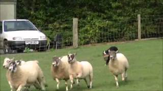 Sheep Dog Trials And Training In Devon At The Big Sheep