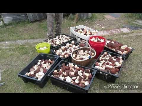 белый гриб(боровик)! Караул!!!Столько много грибов я ещё не видел!.сборка сушка грибов.