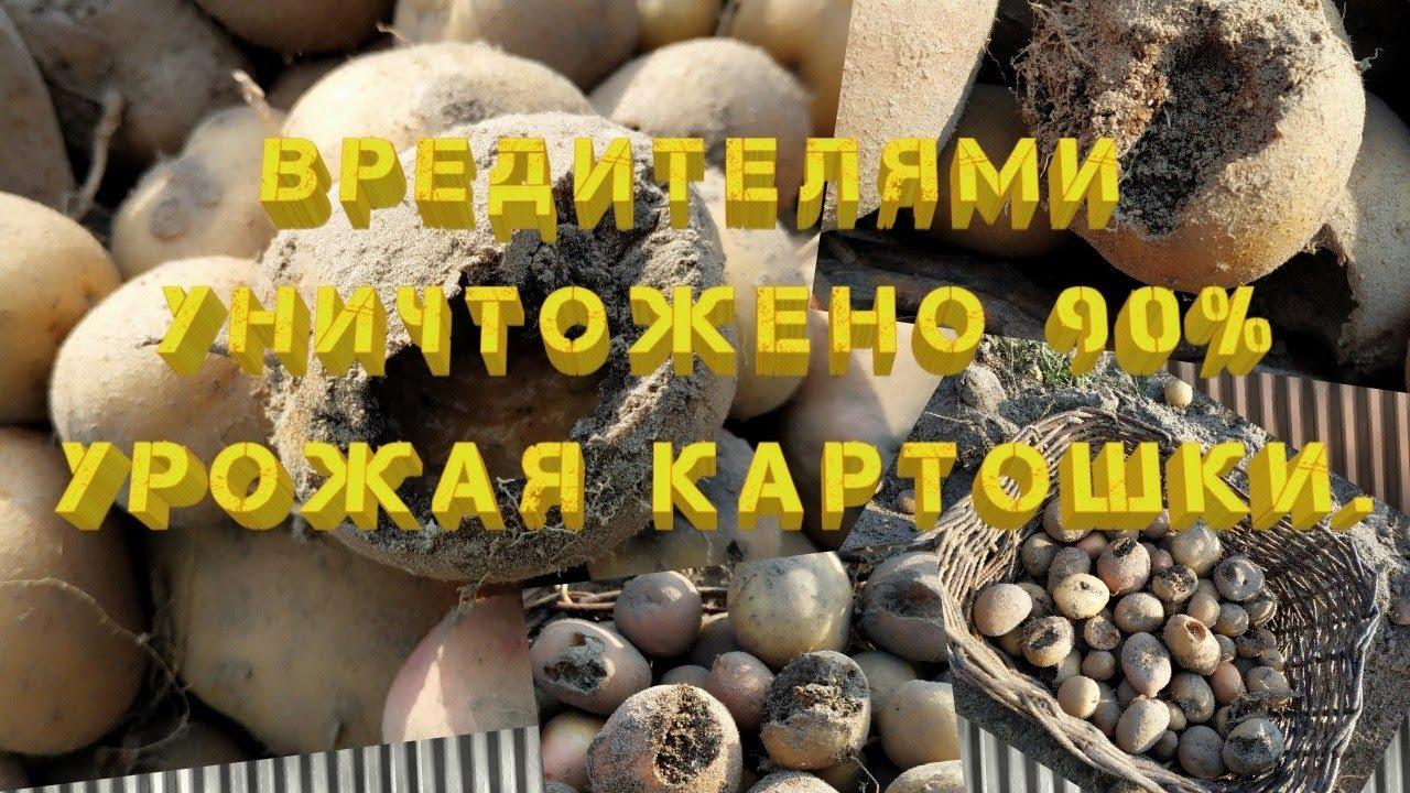 Вредители наглым образом уничтожили 90% урожая картошки.