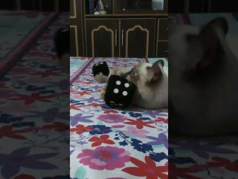 My Pet Cat Playing with Dices