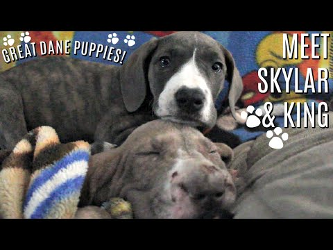 Family Gets TWO Great Dane Puppies!!