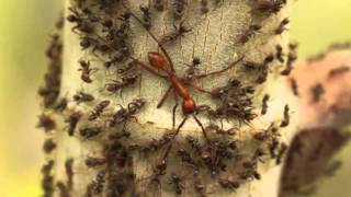 Aggressive Azteca Ants Pin Down an Army Ant