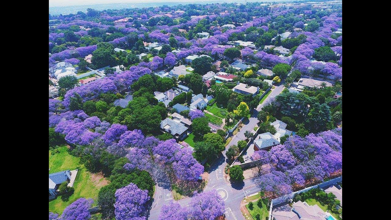 """The Jacaranda Trees are Blooming"" - YouTube"