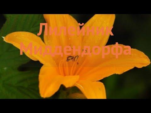 Лилейник обыкновенный Миддендорфа �� обзор: как сажать, саженцы лилейника Миддендорфа