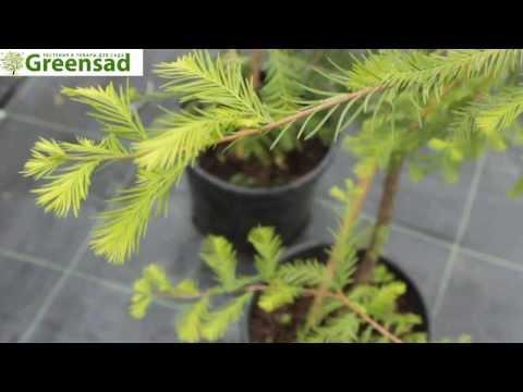 Гемлок канадский, Тсуга канадская - видео-обзор от Greensad