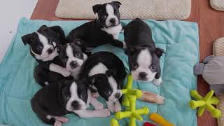 Boston terrier puppies for sale in pittsburgh video