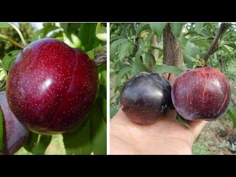ШАРАФУГА (гибрид персика, абрикоса и сливы)