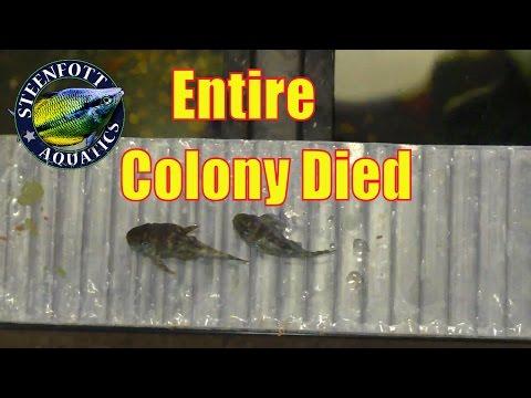 Dead Pleco Fish Colony