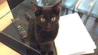 チュパチュパしたくて我慢できない子猫。すごい要求鳴き。 thumbnail