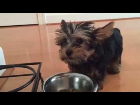 Yorkshire Terrier Food Eating Healthy Josie 10wks Youtube
