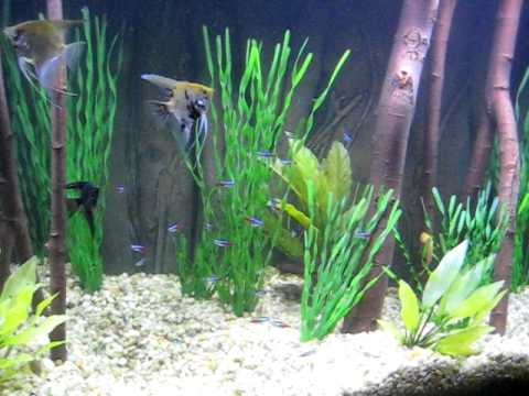 Angelfish And Neon Tetras