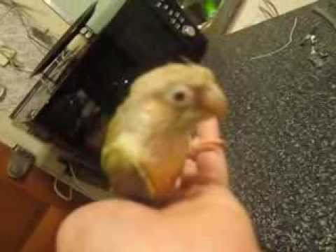 Introducing Tara the 3 year old disabled cinnamon green cheek conure parrot