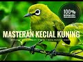 Masteran Kecial Kuning Atau Pleci Lombok  Mp3 - Mp4 Download