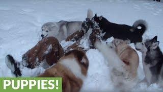 Pack of Siberian Huskies ruin owner's snow angel