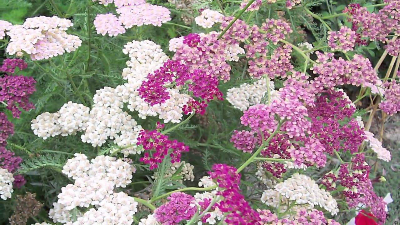 Gardening Tips : How To Grow Yarrow (Achillea)