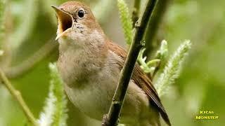Tembakan Rapat Sikatan Londo Nightingale Masteran Kualitas Burung Lomba