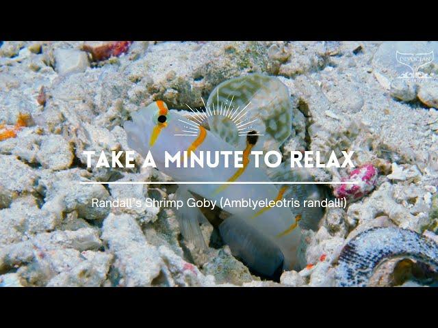 Take a Minute XXXII: Randall's Shrimp Goby (Amblyeleotris randalli)