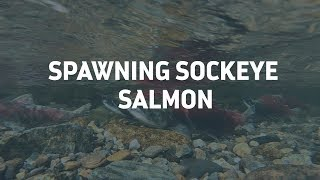 3 Hour Salmon Spawning Video, Adams River, Relaxing underwater Sounds, 1080p HD.