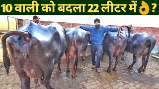 murrah buffalo dairy farm business punjab india