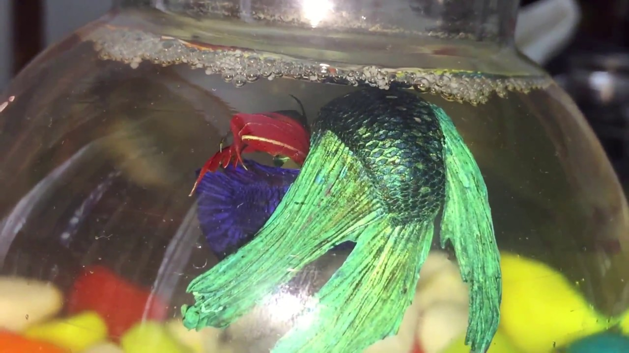 Breeding Our Betta Fish (Episode 1) - YouTube