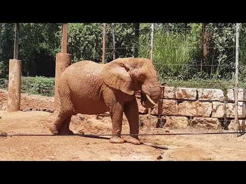 A female of East African bush elephant