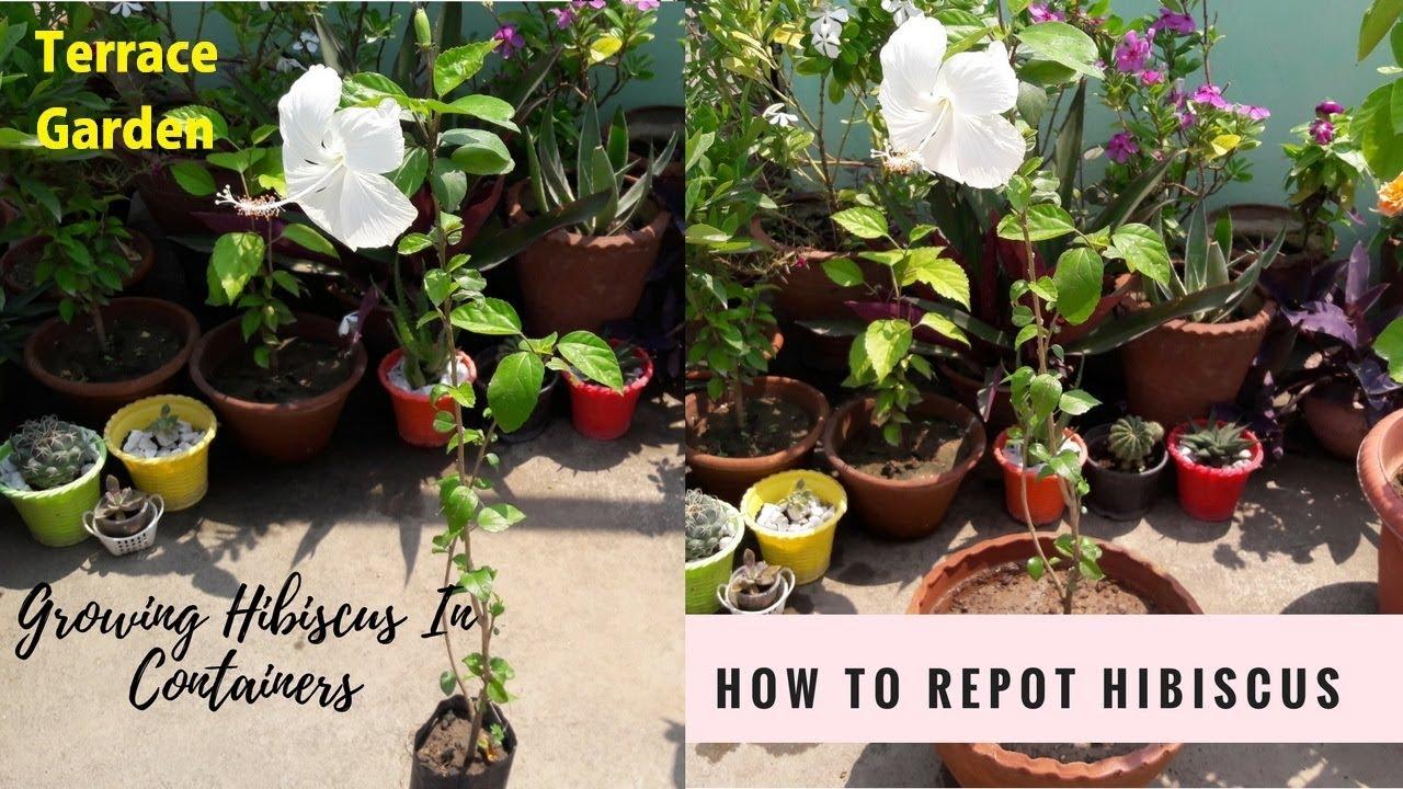 How To Grow Hibiscus Plant Growing Hibiscus In Pot गडहल