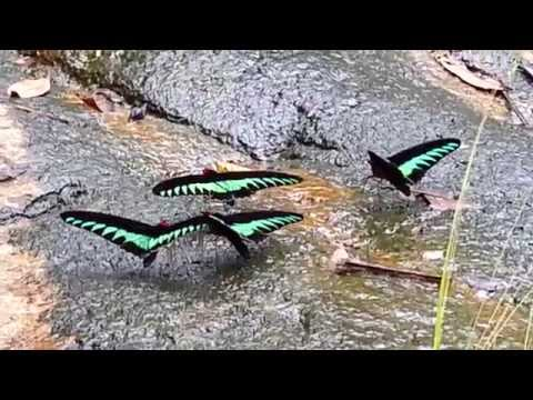 Endangered butterflies species