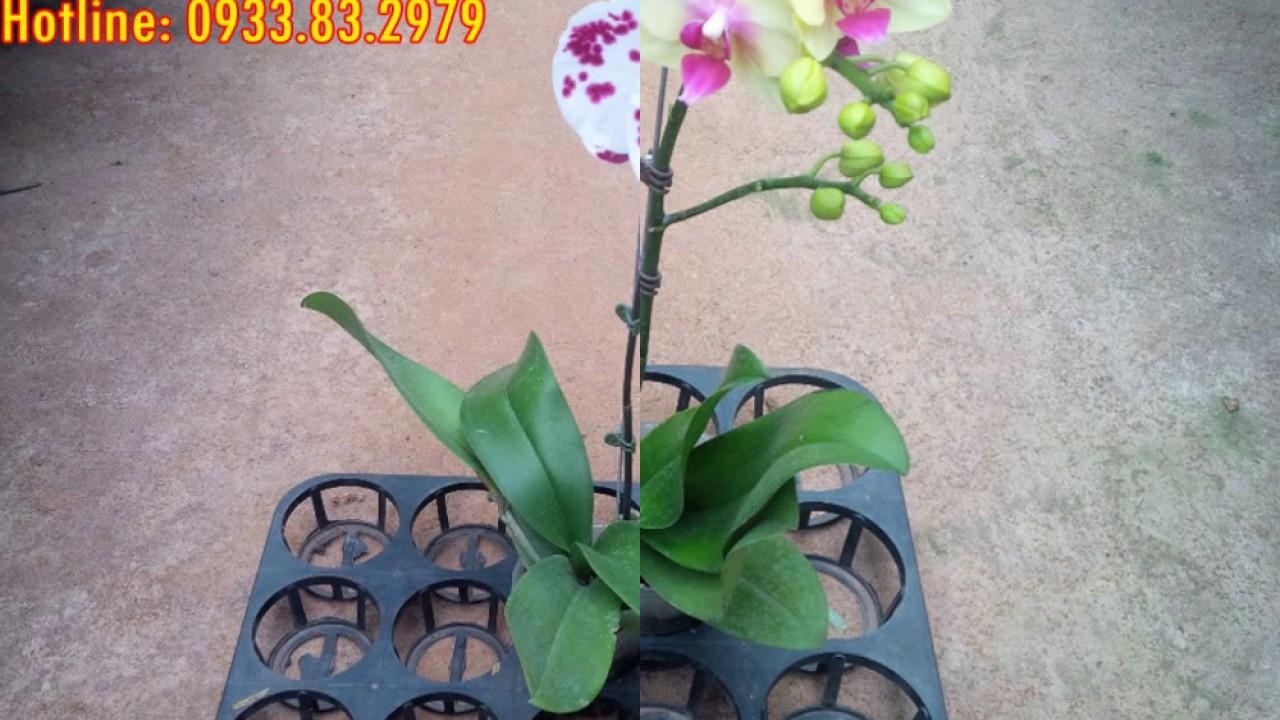 Chuyên cung cấp hoa lan hồ điệp sỉ và lẻ giá tại Vườn 0933832979