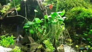 Moje akwarium mchy i anubiasy