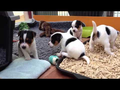 Jack Russell Terrier Welpen - Redcaps