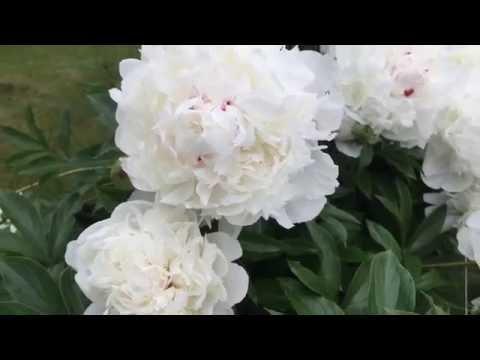 Белые пионы. Загородная жизнь.