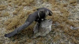 Gambar cover Falcon Grabs Pheasant In Mid-Air!!!!!