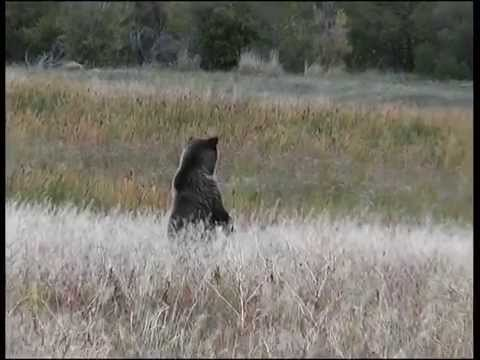Inland Grizzly Wyoming USA