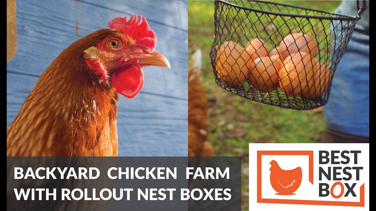 Backyard Chicken Farming For The First Time   Best Nest Box