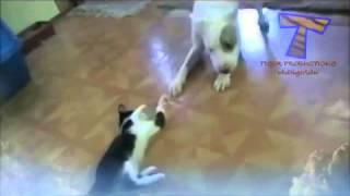 Кошки играют с собаками!Cats playing with dogs